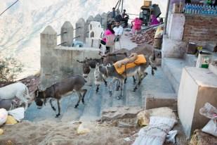 India impressions: working donkeys