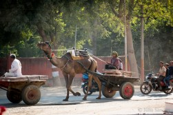 Camel carriage in the streets of ...