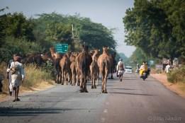 Camels walking along the main road leading to Jaisalmer