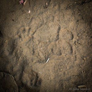 India Impressions: Traces from the Tiger in the sand