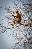 India Impressions: Monkey on a tree