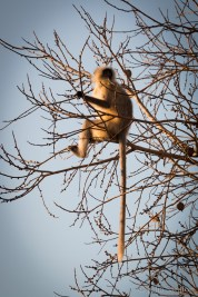 India Impressions: Monkey on a tree