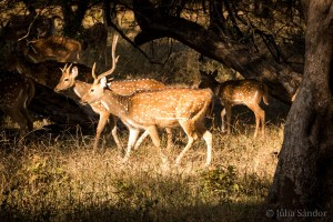 India Impressions: Deers in the Ranthambore Tiger Reserve