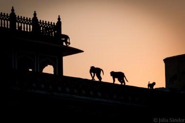 India impressions: Monkeys in the Jaipur City Palace