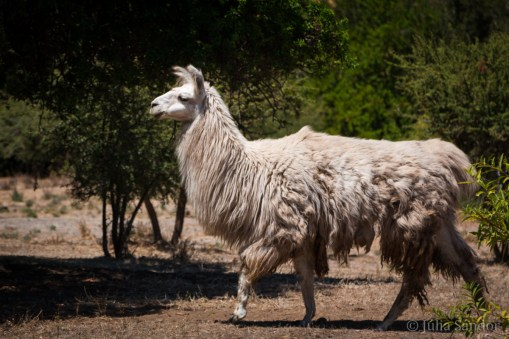 This lama we saw from the back first, and were wondering what a giant sheep we found....