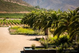 The huge Chilean palm trees in the vineyards form part of the biological belt - and are by the way beautiful.