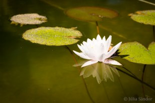 Water lily in the pond at the Casona
