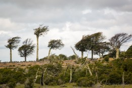 Storm bend trees in Southern Patagonia
