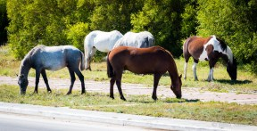 Grazing horses in the middle of the city (Puerto Natales)