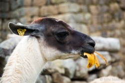 Lucy, the lama was succesfully hunting bananas from visitors