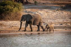 Freshly born elephant walking with his Mom