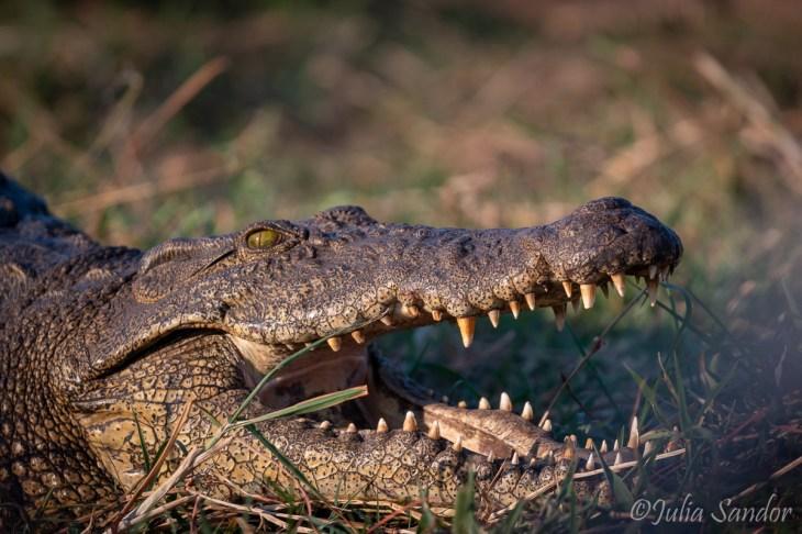 Nile Crocodile a bit too close maybe...