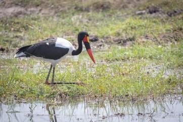 Saddle stork
