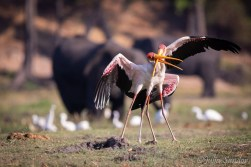 Storks fighting for the attention f the females