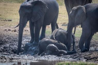 elephant kindergarten in the mud