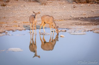 Impalas early morning