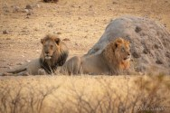 Male lions observing the surroundings