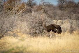 Female ostrich in the bush