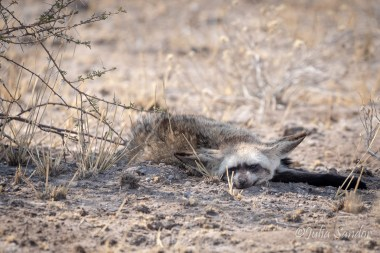 Bat eared fox - looks like he had a tough night