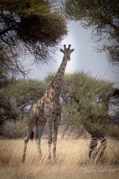 Giraffe in the Kalahari