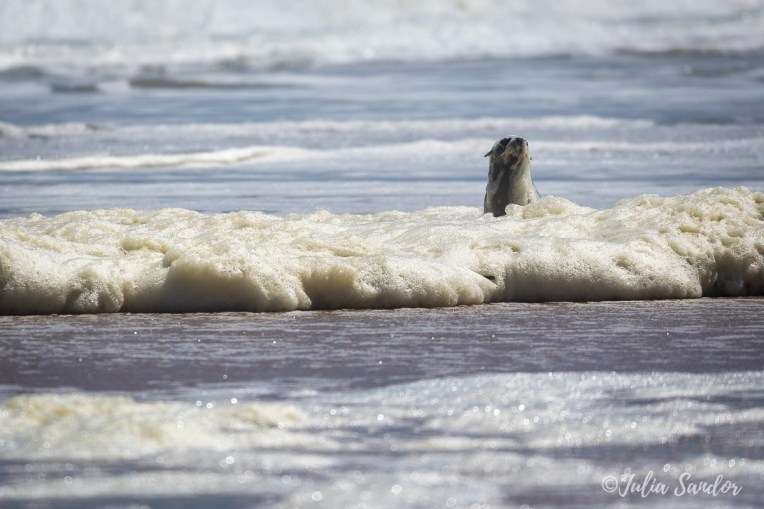 Seal taking a foam bath (from natural plancton)