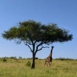 2014 ケニア ナイロビとマサイマラ国立保護区でサファリ