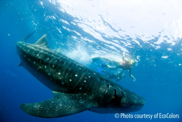 Swimming with Whale Sharks Cancun1