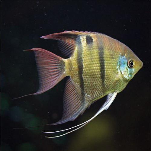 Leopoldi Angelfish