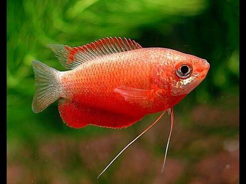 Red Honey Gourami