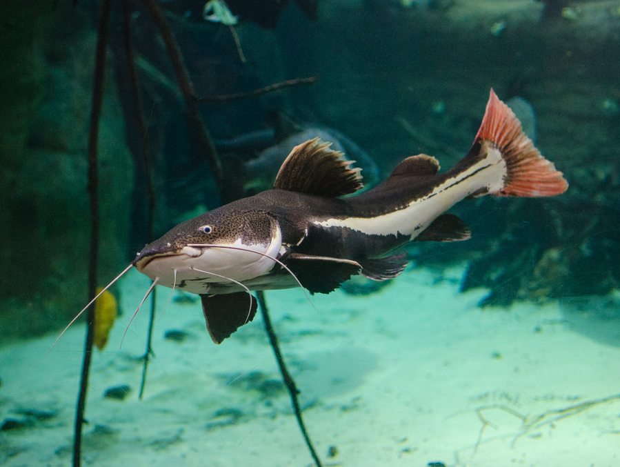 Red Tail Catfish 3to4 inch