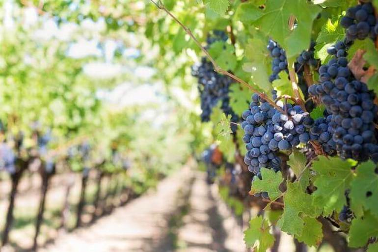 purple grapes on the vine at a Napa Valley vineyard