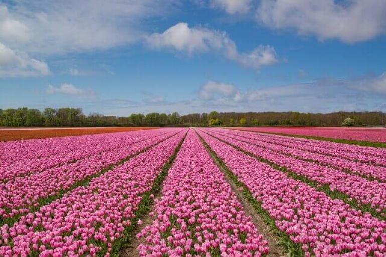rows of pink and red tulips under a blue and puffy cloud sky