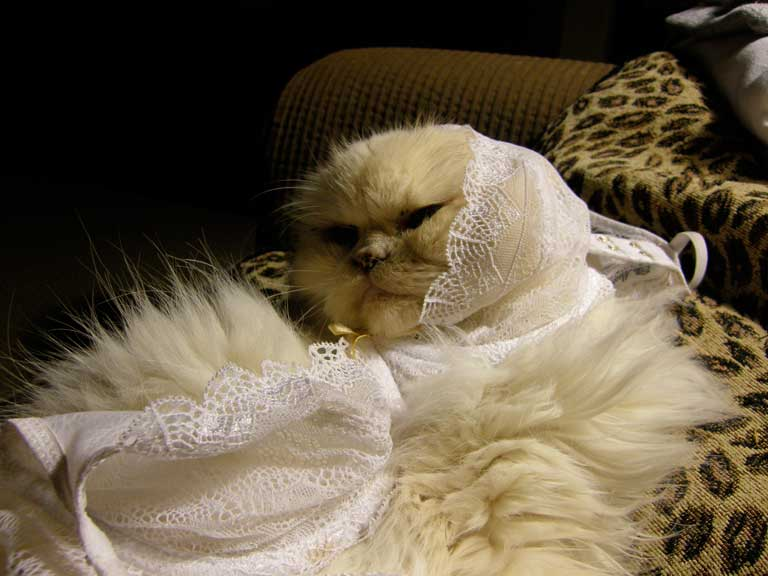 Cats Wearing Lingerie Gallery Worldwideinterweb