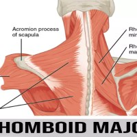 romboide major