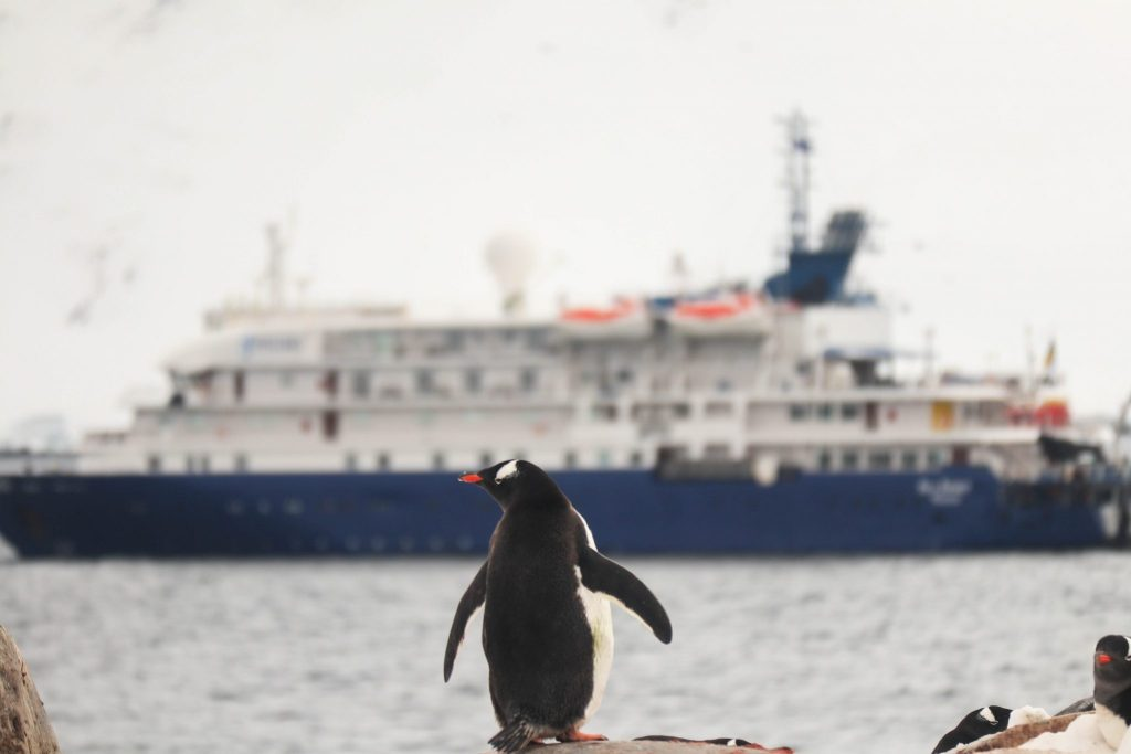 penguin looking at cruise ship