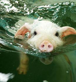 Piggy Swim