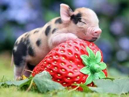 Piglet on a Strawberry