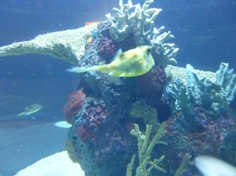 Seattle Aquarium Cow Fish