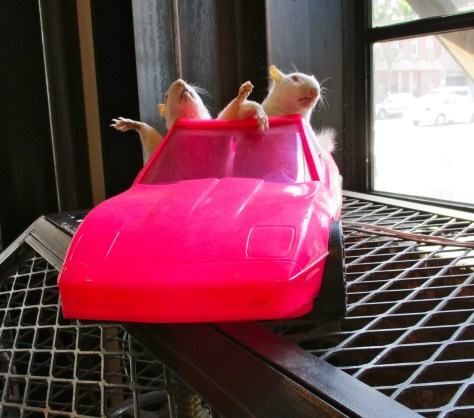 Rats in Pink Sports Car