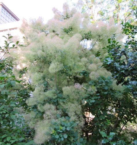 Fluffy White Flowering Tree
