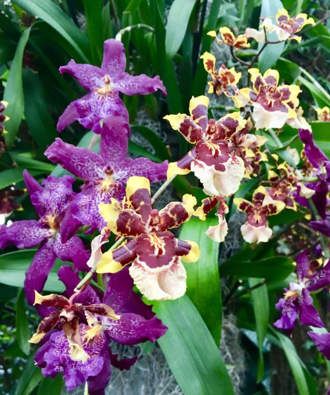 Cascading Purple Orchids