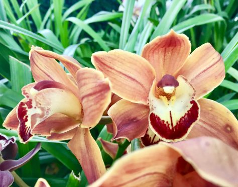 Flame Orchids
