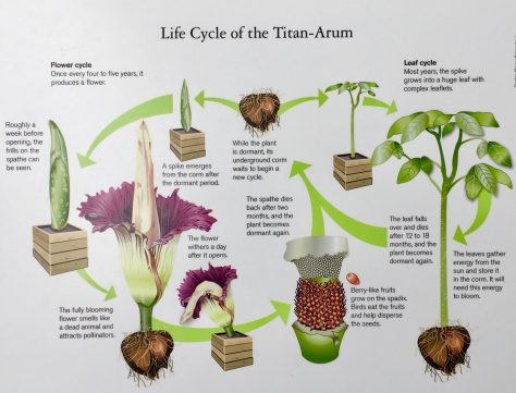 Corpse Flower Life Cycle