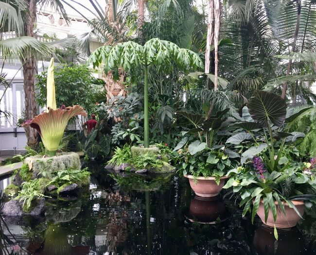 Corpse Flower Wide Shot