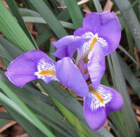 Blue Purple Iris