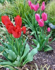 red and pink tulips photo by gail worley