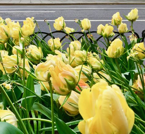 yellow tulips after the storm photo by gail worley