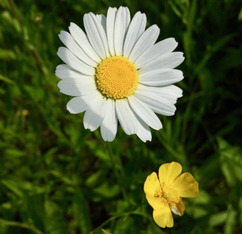 daisy and buttercup photo by gail worley