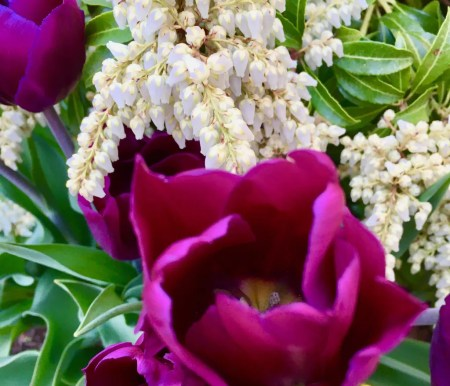 purple tulips photo by gail worley