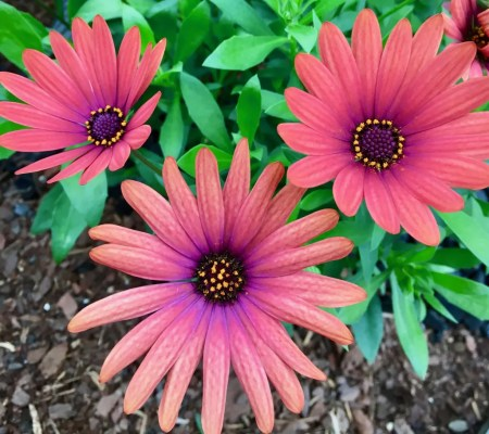 pink daisies photo by gail worley